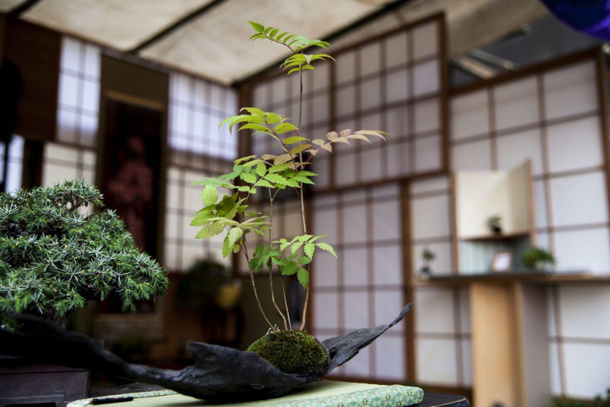 古代木盆栽