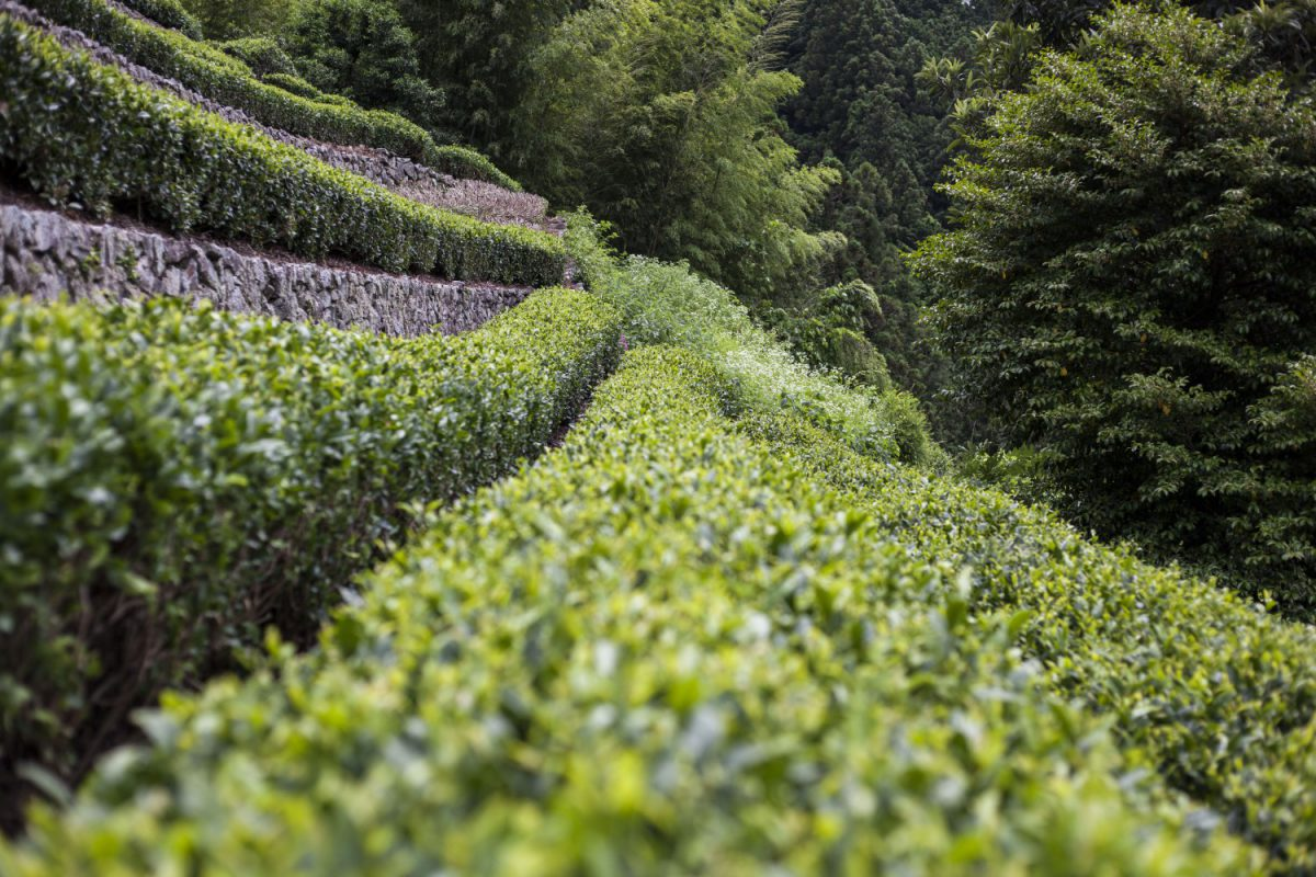 中井侍茶畑
